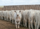 2013 Replacement Heifers for Sale by Private Treaty
