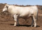 Herd Sire Prospect Pen 2013