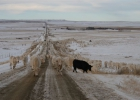 moving-cows-09-021